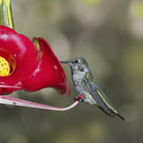 Hummingbird (archilochus colubris)  sitting on feeder Royalty Free Stock Image