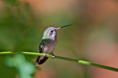Hummingbird arizona Stock Photos