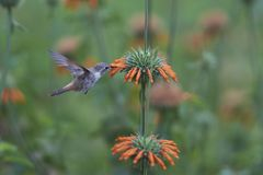 Hummingbird in the Azapa Valley, Chile Royalty Free Stock Image