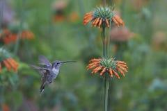 Hummingbird in the Azapa Valley, Chile Royalty Free Stock Photos