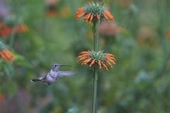 Hummingbird in the Azapa Valley, Chile. Oasis Hummingbird [Rhodopis vesper] in flight, feeding on orange flowers at the Hummingbird Sanctuary in the Azapa Valley Royalty Free Stock Photography