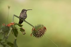 Hummingbird in the Azapa Valley, Chile. Oasis Hummingbird Rhodopis vesper perched on a plant at the Hummingbird Sanctuary in the Azapa Valley near Arica in Royalty Free Stock Photos