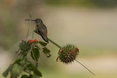 Hummingbird in the Azapa Valley, Chile. Oasis Hummingbird Rhodopis vesper perched on a plant at the Hummingbird Sanctuary in the Azapa Valley near Arica in Stock Photo