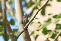Hummingbird babies that has just left the nest Stock Photography
