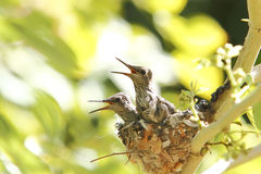 Hummingbird babies in nest Royalty Free Stock Photos