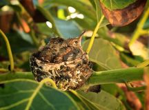 Hummingbird babies nest. Two baby hummingbirds resting in tiny Royalty Free Stock Photo