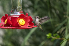 Hummingbird at a Backyard Feeder #4 Stock Image