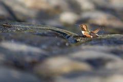 Hummingbird Bathing. An Allen's Hummingbird baths in a shallow stream on algae covered rocks Stock Photo