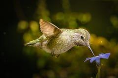 Hummingbird with beak down on blue flower Royalty Free Stock Photo