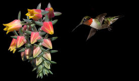 Hummingbird with Beautiful Tropical Flower on Black Background. Hummingbird in flight with tropical flower over black background Stock Photos