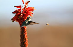 Hummingbird and bee. With flower Royalty Free Stock Photography