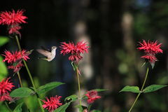 Hummingbird and Bee Balm Royalty Free Stock Photos