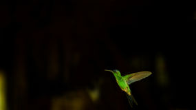 Hummingbird / Beija-flor. Hummingbird at the black background, static Stock Photography