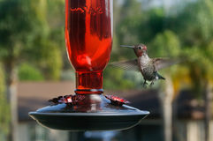 Hummingbird at bird feeder Royalty Free Stock Photos