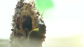 Hummingbird bird in nest feeds chick