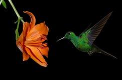Hummingbird on Black Background Royalty Free Stock Photo