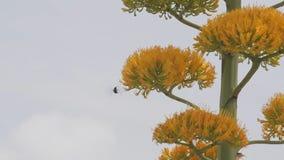 Hummingbird at a blooming agave plant