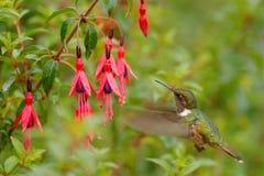 Hummingbird in blooming flowers. Scintillant Hummingbird, Selasphorus scintilla, tiny bird in the nature habitat. Smallest bird fr. Hummingbird in blooming stock image