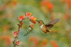 Hummingbird in blooming flowers. Scintillant Hummingbird, Selasphorus scintilla, tiny bird in the nature habitat. Smallest bird fr. Hummingbird in blooming royalty free stock image