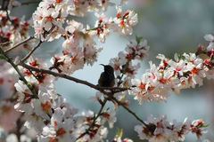 Hummingbird at blossoming almond tree. Silhouette of a hummingbird on a branch of blossoming almond tree Stock Image