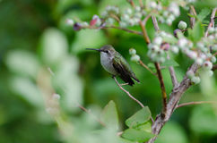 Hummingbird and blueberry bush Stock Images