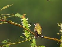 Hummingbird on a branch Royalty Free Stock Photos