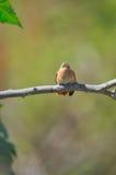 Hummingbird on branch Royalty Free Stock Photos