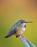 Hummingbird on a branch Stock Images