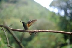 Hummingbird on branch Royalty Free Stock Images