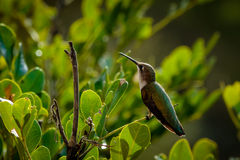Hummingbird on a Branch Royalty Free Stock Photos