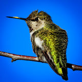Hummingbird on a Branch Stock Photos