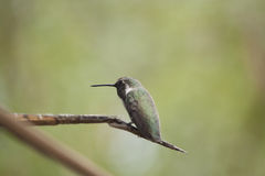 Hummingbird on a Branch. This small hummingbird rests on a branch Royalty Free Stock Image