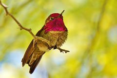Hummingbird on Branch. A small hummingbird is sitting on a tree bruch Royalty Free Stock Photography