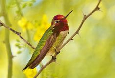 Hummingbird on Branch. A small hummingbird is sitting on a tree bruch Stock Images