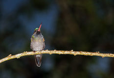 Hummingbird on a Branch Stock Image