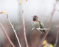 Hummingbird and branches. An Annas Hummingbird (Calypte anna) rests on a bare twig, surrounded by leafless branches. Late summer, dry California royalty free stock image