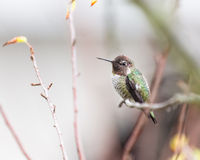 Hummingbird and branches. An Annas Hummingbird (Calypte anna) rests on a bare twig, surrounded by leafless branches. Late summer, dry California royalty free stock photos