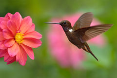 Hummingbird Brown Inca, Coeligena wilsoni, flying next to beautiful pink flower, pink bloom in background, Colombia. Hummingbird Brown Inca, Coeligena wilsoni royalty free stock images