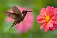 Hummingbird Brown Inca, Coeligena wilsoni, flying next to beautiful pink flower, pink bloom in background, Colombia Stock Photo
