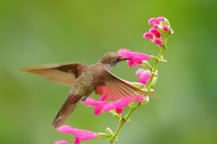 Hummingbird Brown Inca, Coeligena wilsoni, flying next to beautiful pink flower, pink bloom in background, Ecuador. Bird in the fo Royalty Free Stock Photography