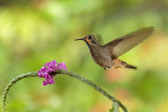 Hummingbird Brown Violet-ear, Colibri delphinae, flying next to beautiful pink flower, nice flowered orange green background, Cost Royalty Free Stock Photos