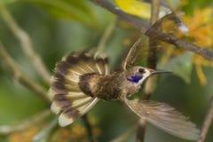 Hummingbird Brown Violetear в полете Стоковые Фото