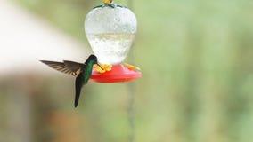 Hummingbird - Buff winged starfrontled (Coeligena lutetia) drinking water in plastic sprue in the reserve Yanacocha royalty free stock photography