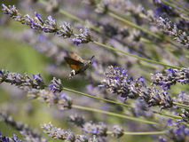 Hummingbird butterfly stock image