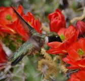 Hummingbird with cactus blooms. A green hummingbird drinking nectar from red blooms on a saguaro cactus Royalty Free Stock Photos