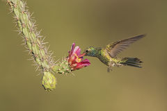 Hummingbird on cactus flower Stock Image