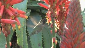 Hummingbird cactus flowers. Video of hummingbird cactus flowers stock video
