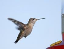 hummingbird calliope Стоковое Изображение RF