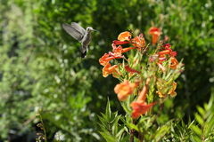 Hummingbird. A hummingbird captured mid-flight Stock Photo