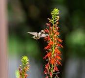 Hummingbird and Cardinal flowers royalty free stock photo